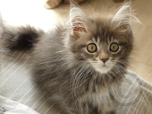 maine-coon-kittens